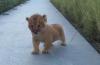 Când leul nostru se depreciază, un alt leu evoluează! | Video